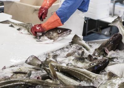 filleting_the_fish