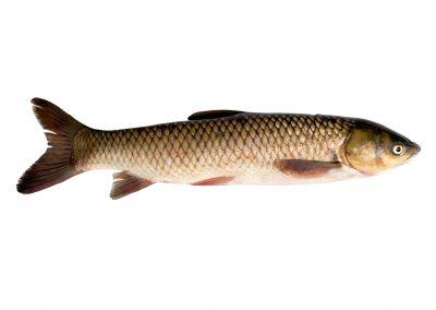 Amur fish
